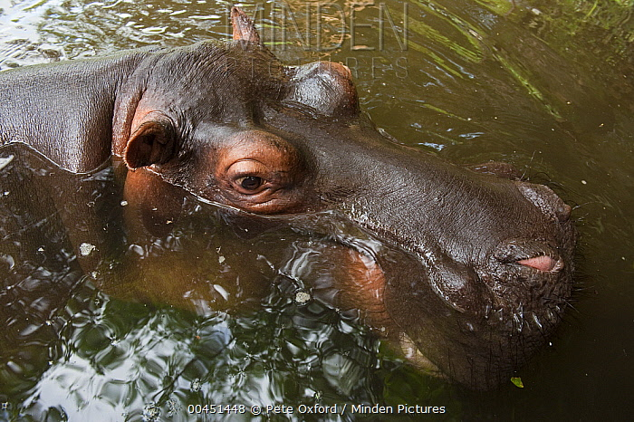 Hippopotamus (Hippopotamus amphibius) named Jessica was orphaned as a baby, on surface, Lowveld, South Africa  -  Pete Oxford