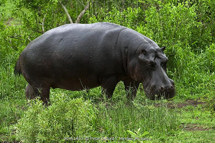 Hippopotamus (Hippopotamus amphibius), Kruger National Park, South Africa  -  Pete Oxford