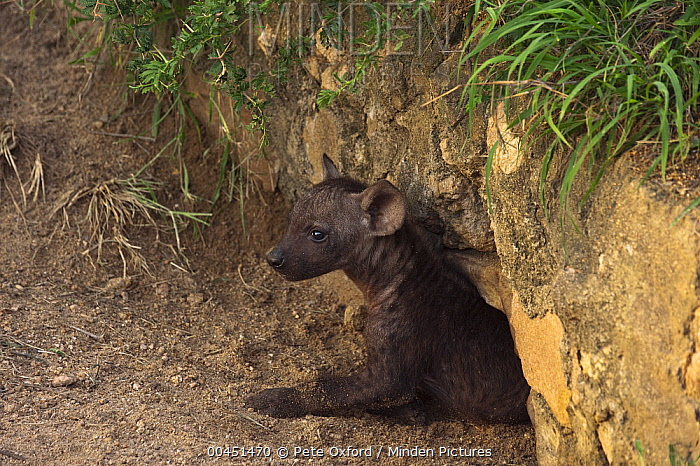 Spotted Hyena (Crocuta crocuta) cub emerging from den, Kruger National Park, South Africa  -  Pete Oxford