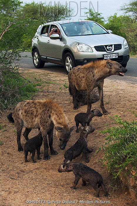 Spotted Hyena (Crocuta crocuta) females and cub watched by tourists, Kruger National Park, South Africa  -  Pete Oxford