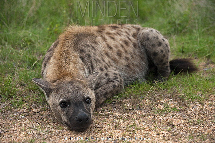Spotted Hyena (Crocuta crocuta), Kruger National Park, South Africa  -  Pete Oxford