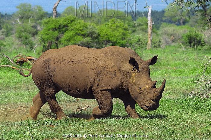 White Rhinoceros (Ceratotherium simum) running, Kruger National Park, South Africa  -  Pete Oxford