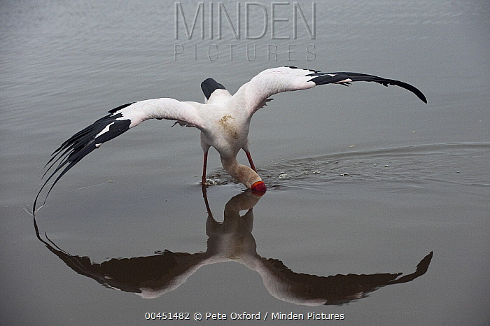 Yellow-billed Stork (Mycteria ibis) feeding, Kruger National Park, South Africa  -  Pete Oxford