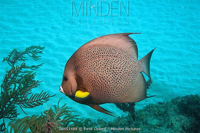 Gray Angelfish (Pomacanthus arcuatus), Sian Ka'an Biosphere Reserve, Quintana Roo, Mexico  -  Pete Oxford