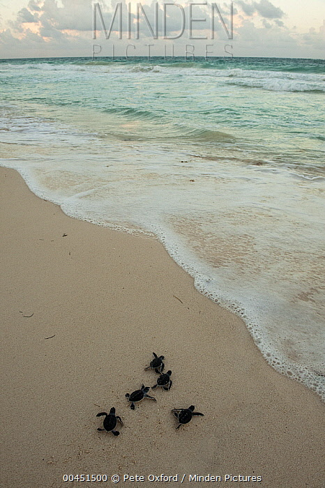 Green Sea Turtle (Chelonia mydas) hatchlings going to sea after being released, Sian Ka'an Biosphere Reserve, Quintana Roo, Mexico  -  Pete Oxford