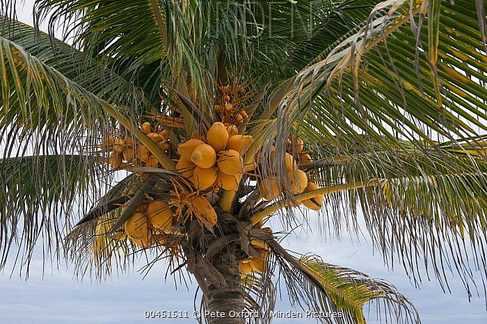 Coconut Palm (Cocos nucifera) fruit, Sian Ka'an Biosphere Reserve, Quintana Roo, Mexico  -  Pete Oxford