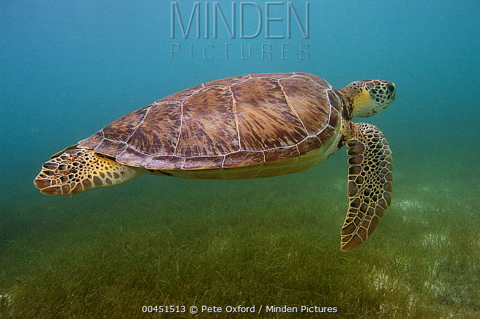 Green Sea Turtle (Chelonia mydas), Sian Ka'an Biosphere Reserve, Quintana Roo, Mexico  -  Pete Oxford