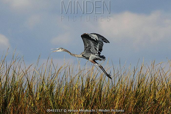 Great Blue Heron (Ardea herodias) flying over reeds, South Carolina  -  Hiroya Minakuchi