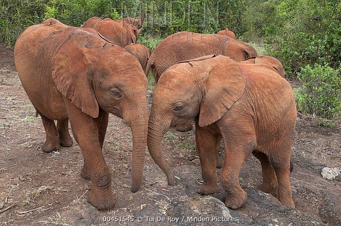 African Elephant (Loxodonta africana) orphans rescued and cared for by the David Sheldrick Wildlife Trust, Nairobi, Kenya  -  Tui De Roy