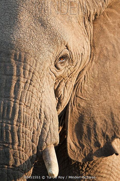 African Elephant (Loxodonta africana), Tumaren Ranch, Kenya  -  Tui De Roy