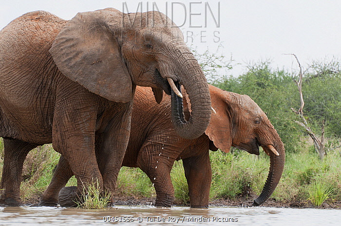 African Elephant (Loxodonta africana) pair drinking, Tumaren Ranch, Kenya  -  Tui De Roy