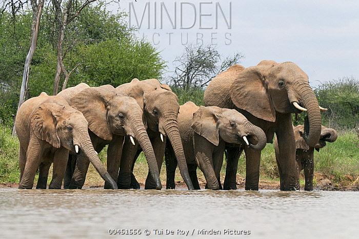 African Elephant (Loxodonta africana) herd drinking, Tumaren Ranch, Kenya  -  Tui De Roy