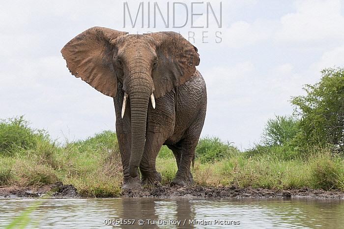 African Elephant (Loxodonta africana) on shore in defensive posture, Tumaren Ranch, Kenya  -  Tui De Roy