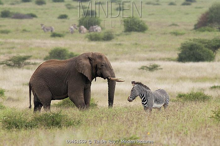 African Elephant (Loxodonta africana) and Grevy's Zebra (Equus grevyi), Tumaren Ranch, Kenya  -  Tui De Roy