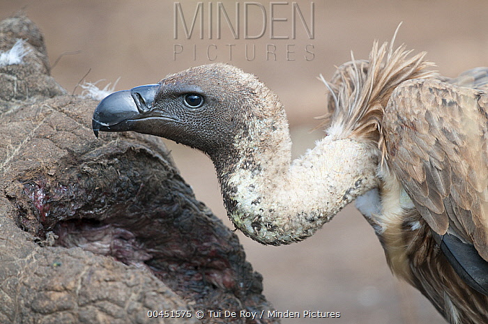 White-backed Vulture (Gyps africanus), Mpala Research Centre, Kenya  -  Tui De Roy
