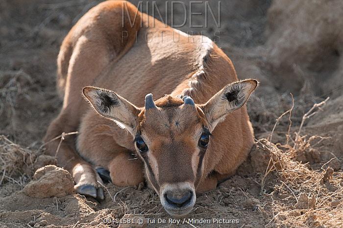 Beisa Gemsbok (Oryx gazella beisa) calf, Solio Game Reserve, Kenya  -  Tui De Roy