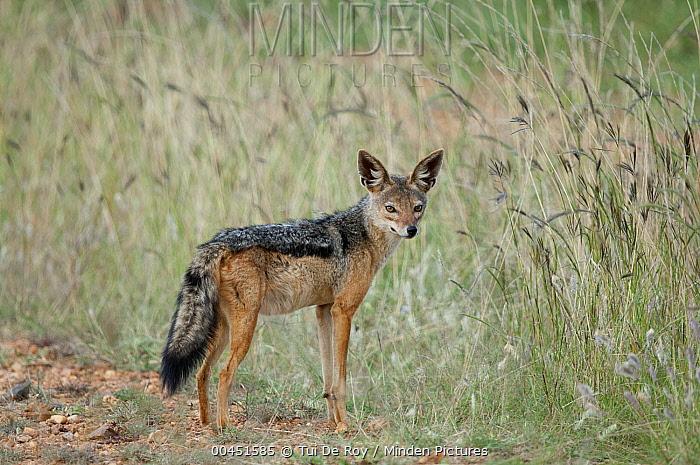 Black-backed Jackal (Canis mesomelas), El Karama Ranch, Kenya  -  Tui De Roy