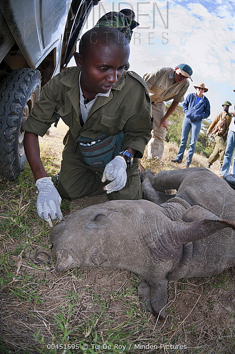 Black Rhinoceros (Diceros bicornis) calf orphaned by poaching to be raised at David Sheldrick Wildlife Trust, Solio Game Reserve, Kenya  -  Tui De Roy