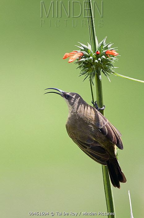 Bronze Sunbird (Nectarinia kilimensis) calling, Mpala Research Centre, Kenya  -  Tui De Roy