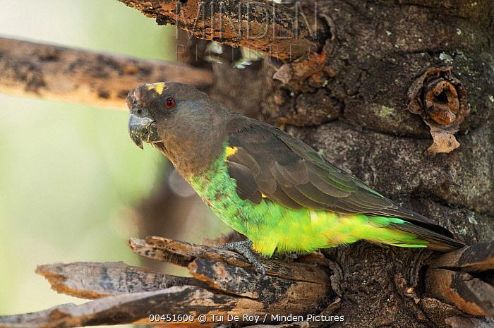 Meyer's Parrot (Poicephalus meyeri), Loisaba Wilderness, Kenya  -  Tui De Roy