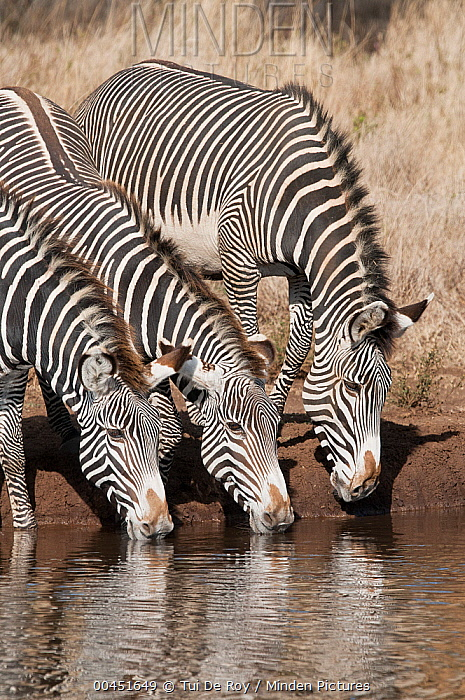 Grevy's Zebra (Equus grevyi) trio drinking, Lewa Wildlife Conservation Area, Kenya  -  Tui De Roy