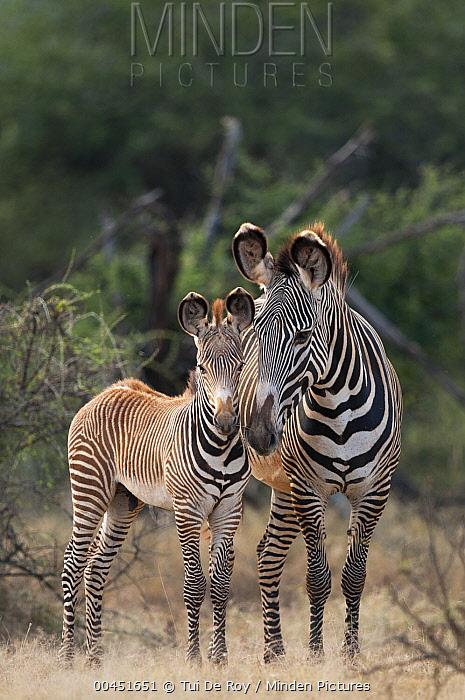 Grevy's Zebra (Equus grevyi) mother and foal, Kenya  -  Tui De Roy