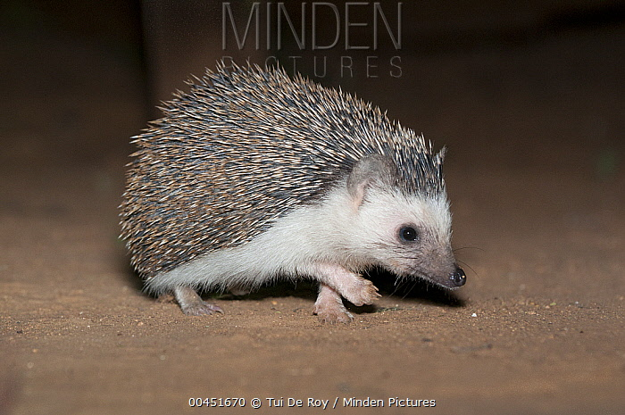 Four-toed Hedgehog (Atelerix albiventris) at night, El Karama Ranch, Kenya  -  Tui De Roy