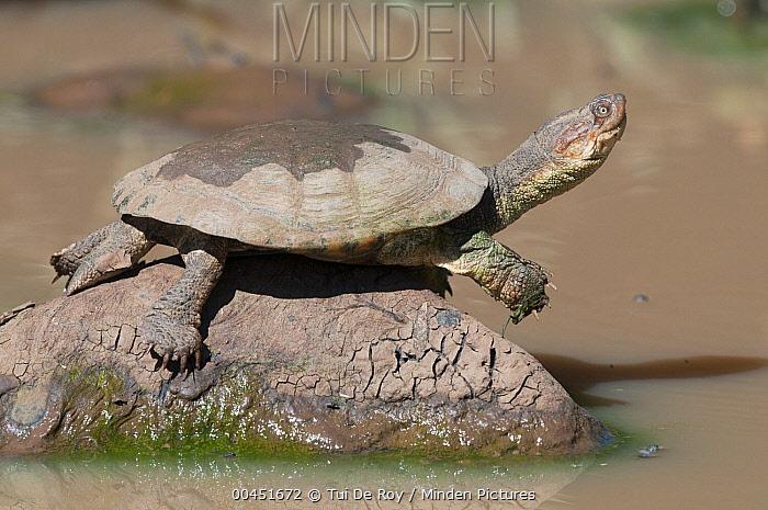 African Helmeted Turtle (Pelomedusa subrufa) basking, Loisaba Wilderness, Kenya  -  Tui De Roy