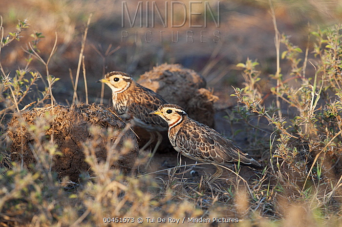 Three-banded Courser (Rhinoptilus cinctus) pair foraging for insects in dung, Kenya  -  Tui De Roy