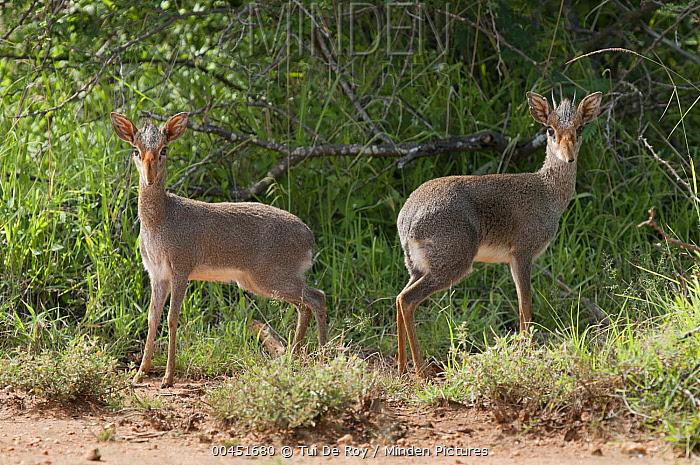 Kirk's Dik-dik (Madoqua kirkii) female and male, Mpala Research Centre, Kenya  -  Tui De Roy