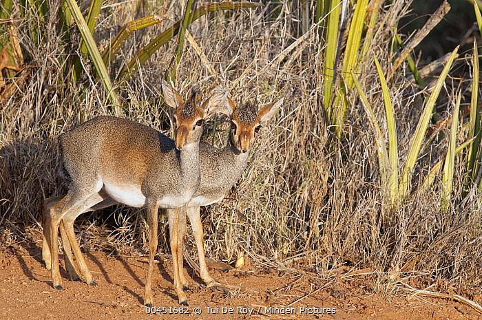 Kirk's Dik-dik (Madoqua kirkii) female and male, Loisaba Wilderness, Kenya  -  Tui De Roy