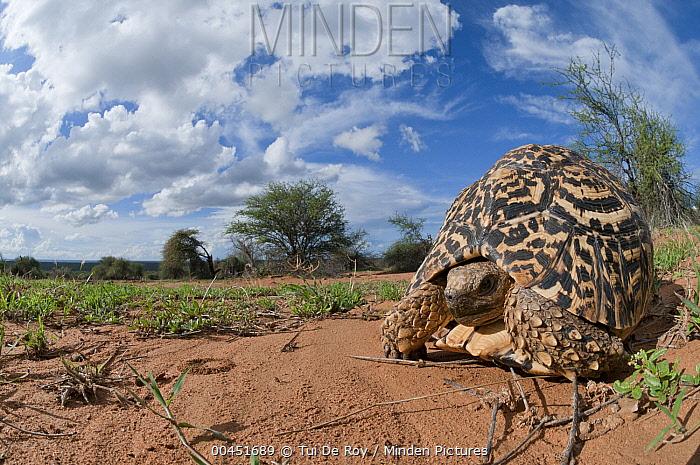 Leopard Tortoise (Geochelone pardalis), Mpala Research Centre, Kenya  -  Tui De Roy