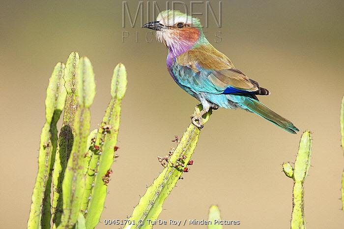 Lilac-breasted Roller (Coracias caudata), Loisaba Wilderness, Kenya  -  Tui De Roy