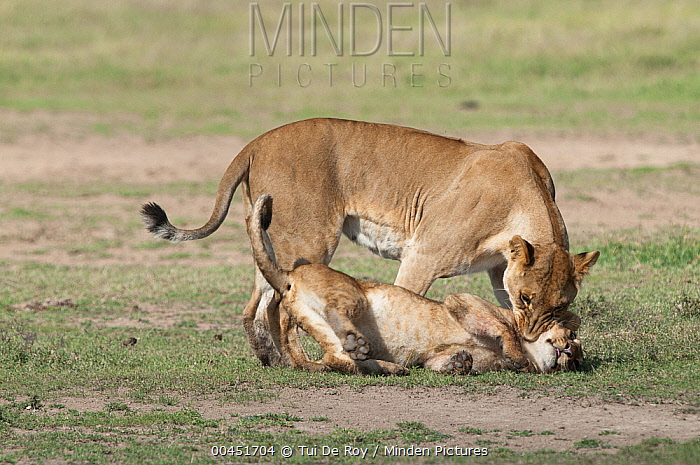 African Lion (Panthera leo) female playing with cub, Ol Pejeta Conservancy, Kenya  -  Tui De Roy