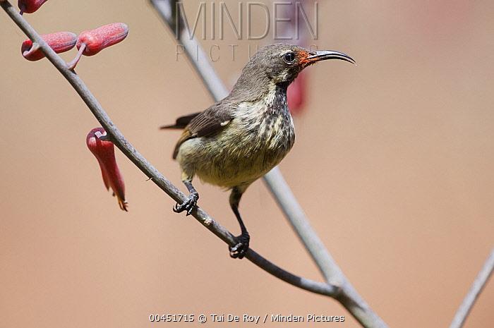 Mariqua Sunbird (Nectarinia mariquensis) female, Kenya  -  Tui De Roy