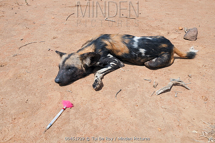 African Wild Dog (Lycaon pictus) with tranquilizer dart used to collar the animal for research, Mpala Research Centre, Kenya  -  Tui De Roy