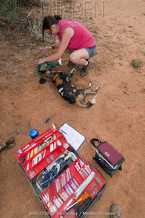 African Wild Dog (Lycaon pictus) researcher Rosie Woodruff collaring animal, Mpala Research Centre, Kenya  -  Tui De Roy