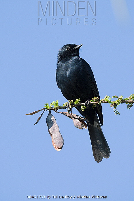 Northern Black-Flycatcher (Melaenornis edolioides), Mpala Research Centre, Kenya  -  Tui De Roy