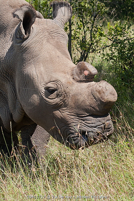 Northern White Rhinoceros (Ceratotherium simum cottoni), one of four of the last eight surviving individuals of this subspecies, transported from Dvur Kralove Zoo in the Czech Republic back to Africa for captive breeding, Ol Pejeta Conservancy, Kenya  -  Tui De Roy