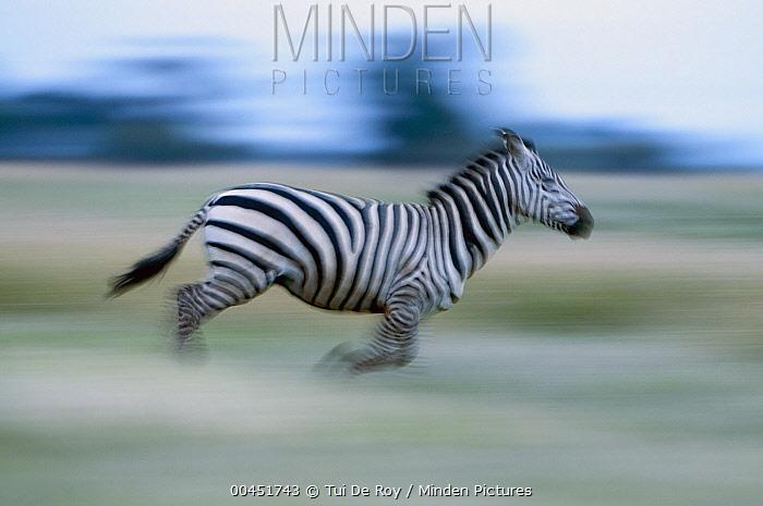 Burchell's Zebra (Equus burchellii) running, Mpala Research Centre, Kenya  -  Tui De Roy