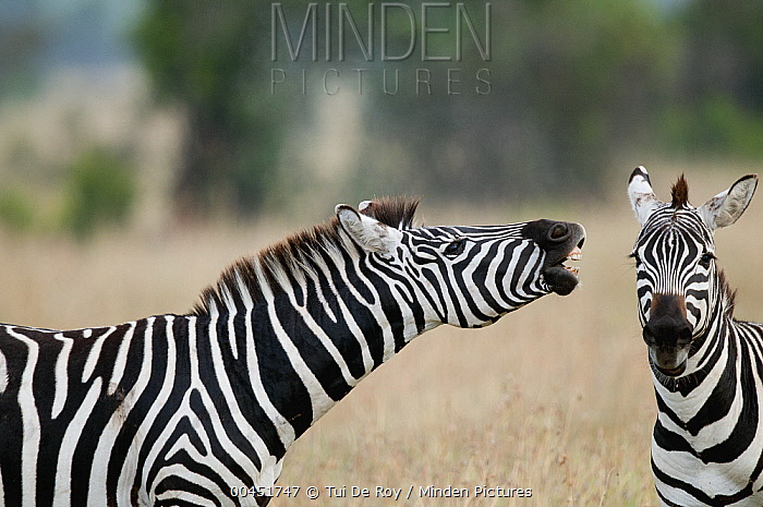 Zebra (Equus quagga) stallion flehming to smell if female is receptive, Ol Pejeta Conservancy, Kenya  -  Tui De Roy