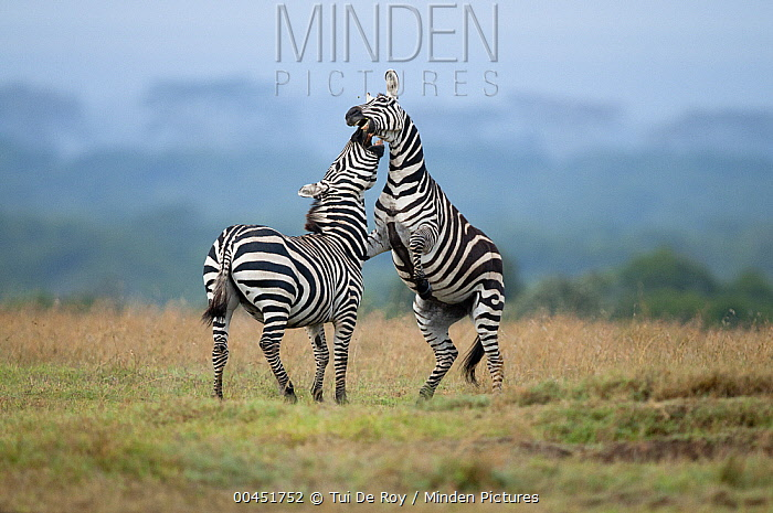 Zebra (Equus quagga) stallions sparring, Ol Pejeta Conservancy, Kenya  -  Tui De Roy