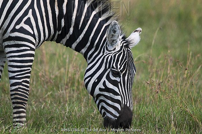 Zebra (Equus quagga) grazing, Ol Pejeta Conservancy, Kenya  -  Tui De Roy