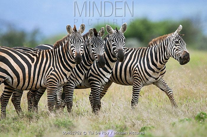 Zebra (Equus quagga) group, Mpala Research Centre, Kenya  -  Tui De Roy