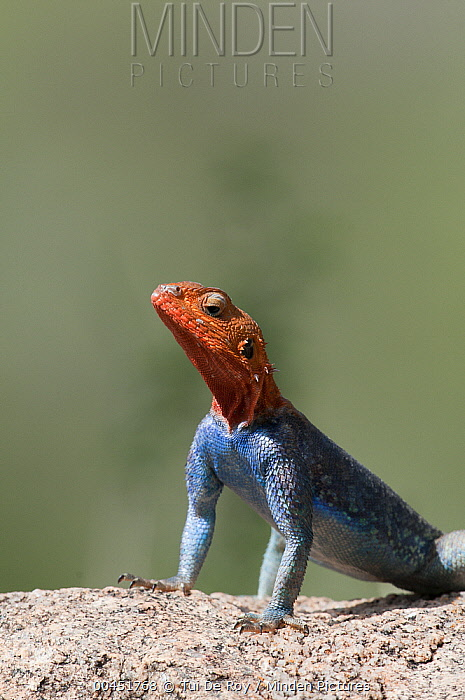 Red-headed Rock Agama (Agama agama) male displaying, Mpala Research Centre, Kenya  -  Tui De Roy