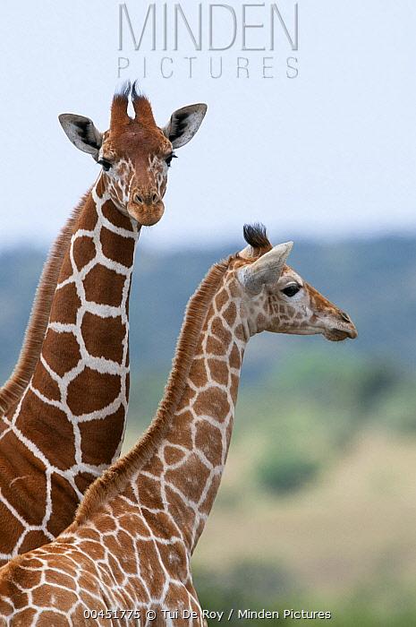 Reticulated Giraffe (Giraffa reticulata) female and calf, Mpala Research Centre, Kenya  -  Tui De Roy