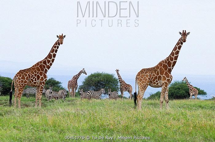 Reticulated Giraffe (Giraffa reticulata) group, Mpala Research Centre, Kenya  -  Tui De Roy
