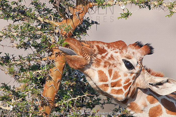 Reticulated Giraffe (Giraffa reticulata) browsing, Lewa Wildlife Conservation Area, Kenya  -  Tui De Roy