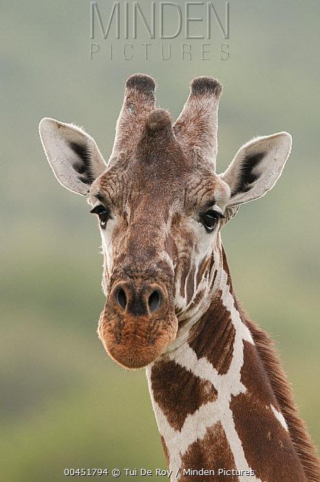 Reticulated Giraffe (Giraffa reticulata), Mpala Research Centre, Kenya  -  Tui De Roy