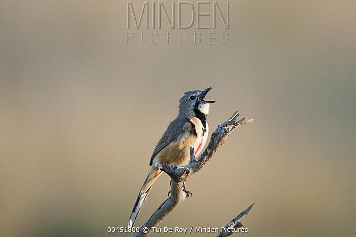 Rosy-patched Bushshrike (Rhodophoneus cruentus) calling, Kenya  -  Tui De Roy